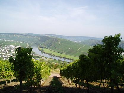 Moezelzicht door de wijngaard