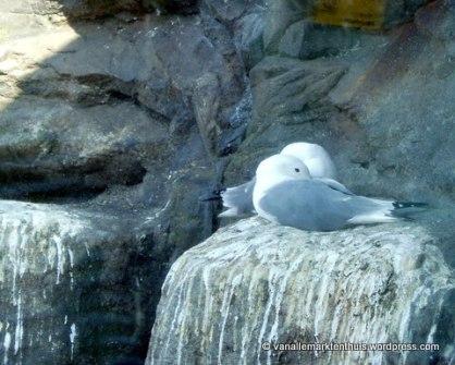 Drieteenmeeuw op nest
